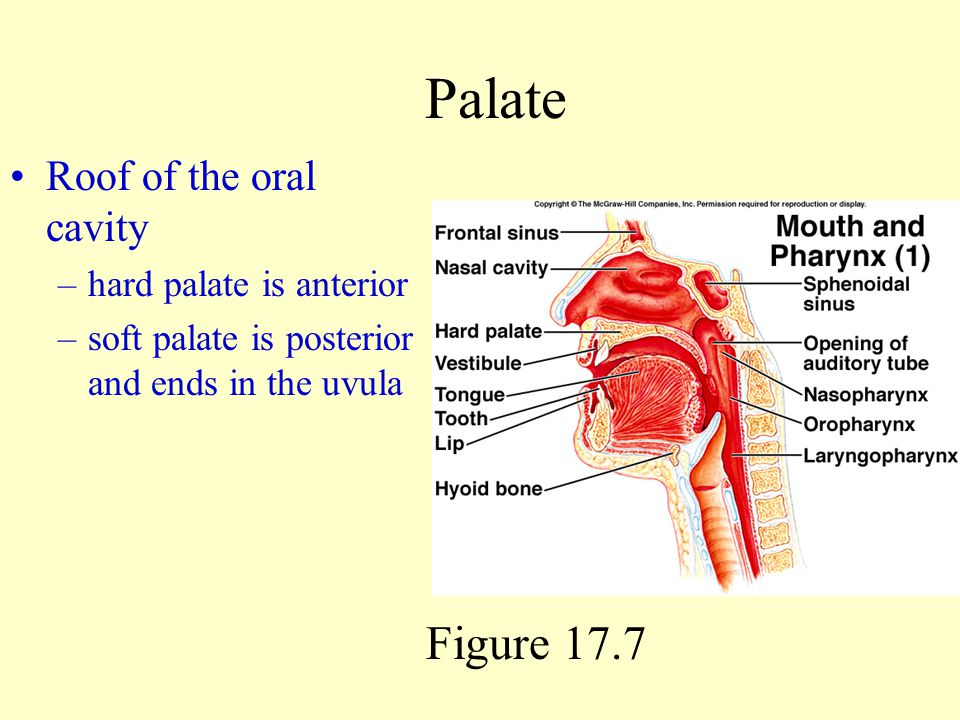 Palate Figure 17.7 Roof of the oral cavity hard palate is anterior