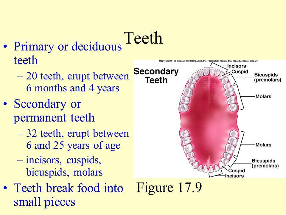 Teeth Figure 17.9 Primary or deciduous teeth