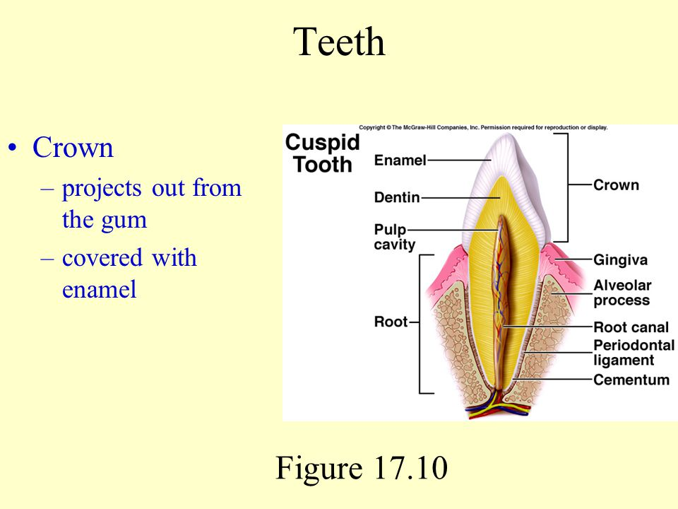 Teeth Crown projects out from the gum covered with enamel Figure 17.10