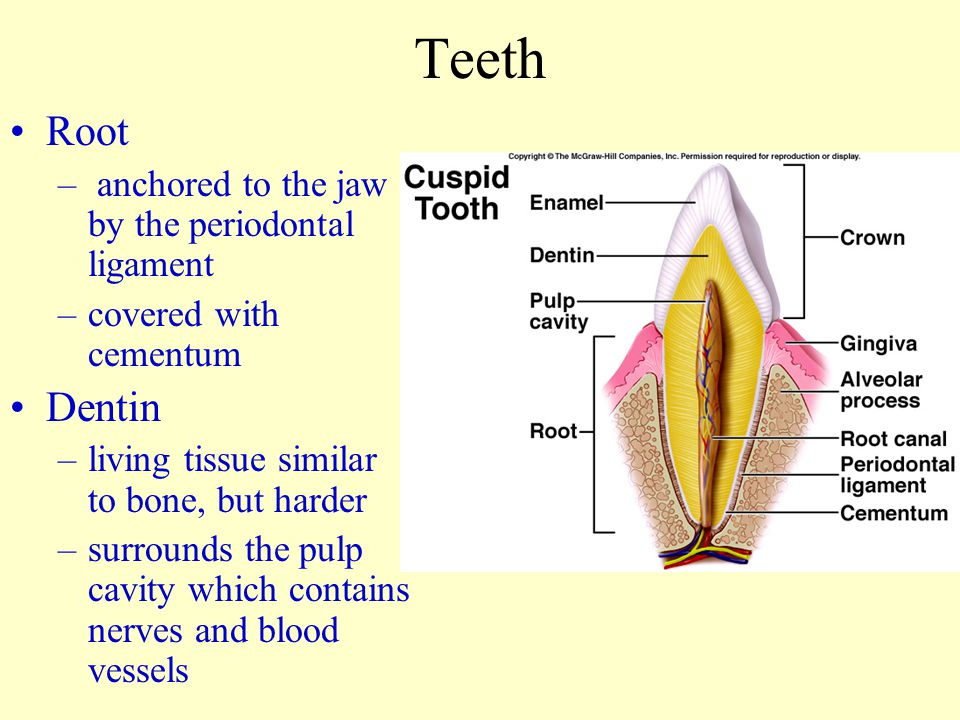 Teeth Root Dentin anchored to the jaw by the periodontal ligament