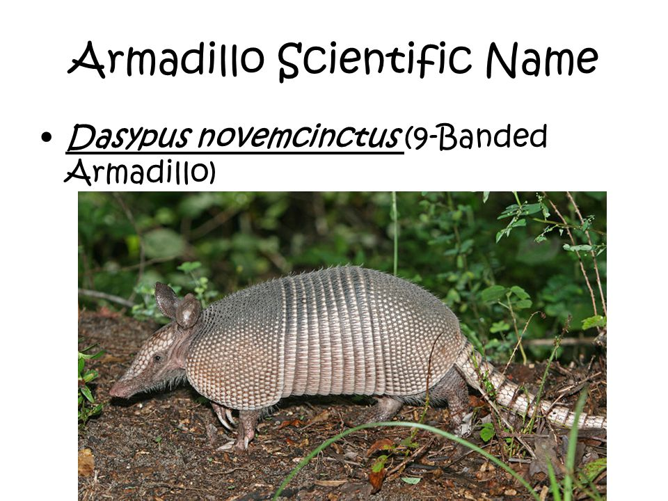 Armadillo Scientific Name