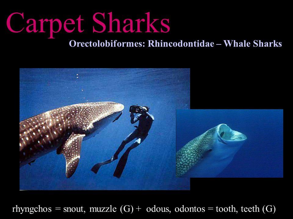 Carpet Sharks Orectolobiformes: Rhincodontidae – Whale Sharks