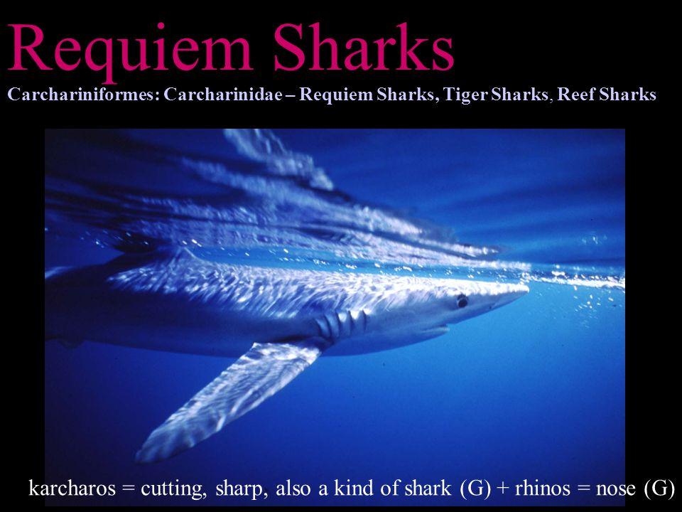 Requiem Sharks Carchariniformes: Carcharinidae – Requiem Sharks, Tiger Sharks, Reef Sharks.