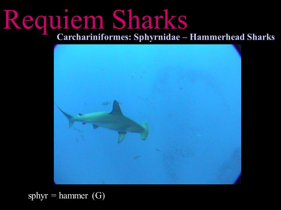 Requiem Sharks Carchariniformes: Sphyrnidae – Hammerhead Sharks