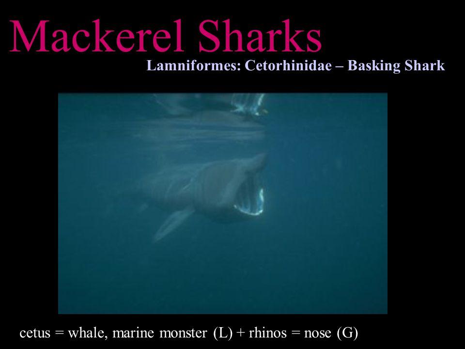 Mackerel Sharks Lamniformes: Cetorhinidae – Basking Shark