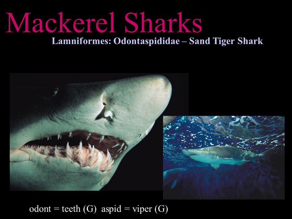 Mackerel Sharks Lamniformes: Odontaspididae – Sand Tiger Shark