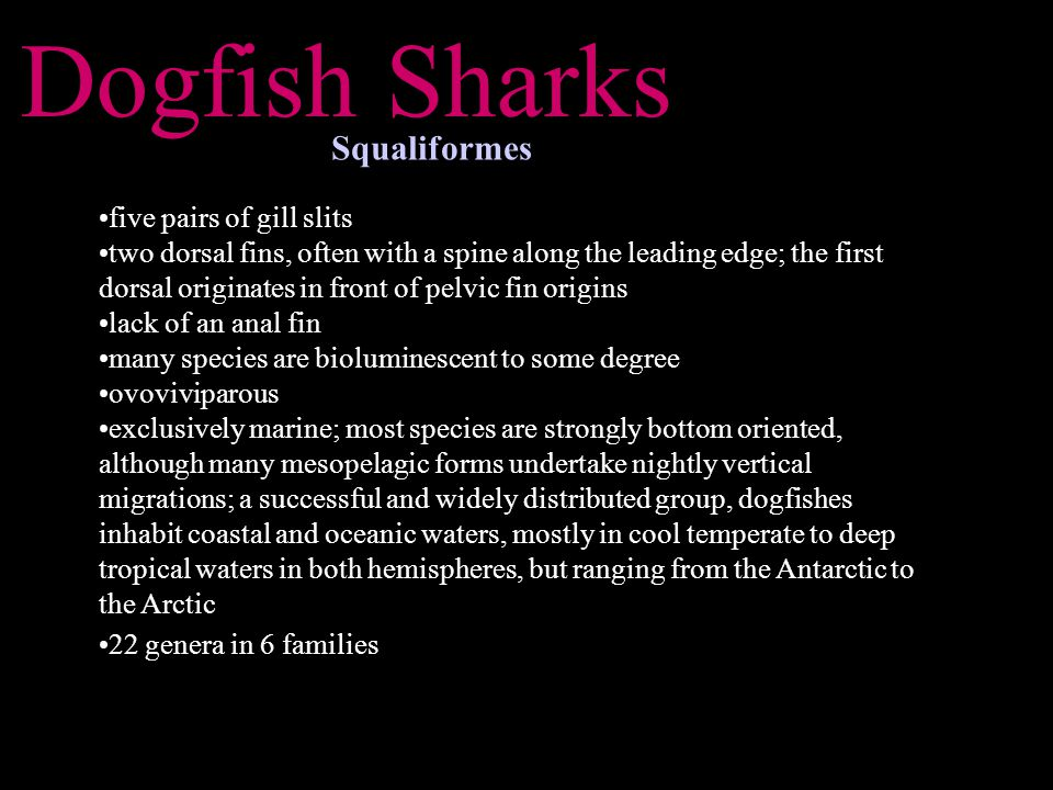 Dogfish Sharks Squaliformes five pairs of gill slits