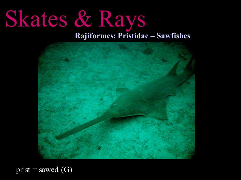 Skates & Rays Rajiformes: Pristidae – Sawfishes prist = sawed (G)
