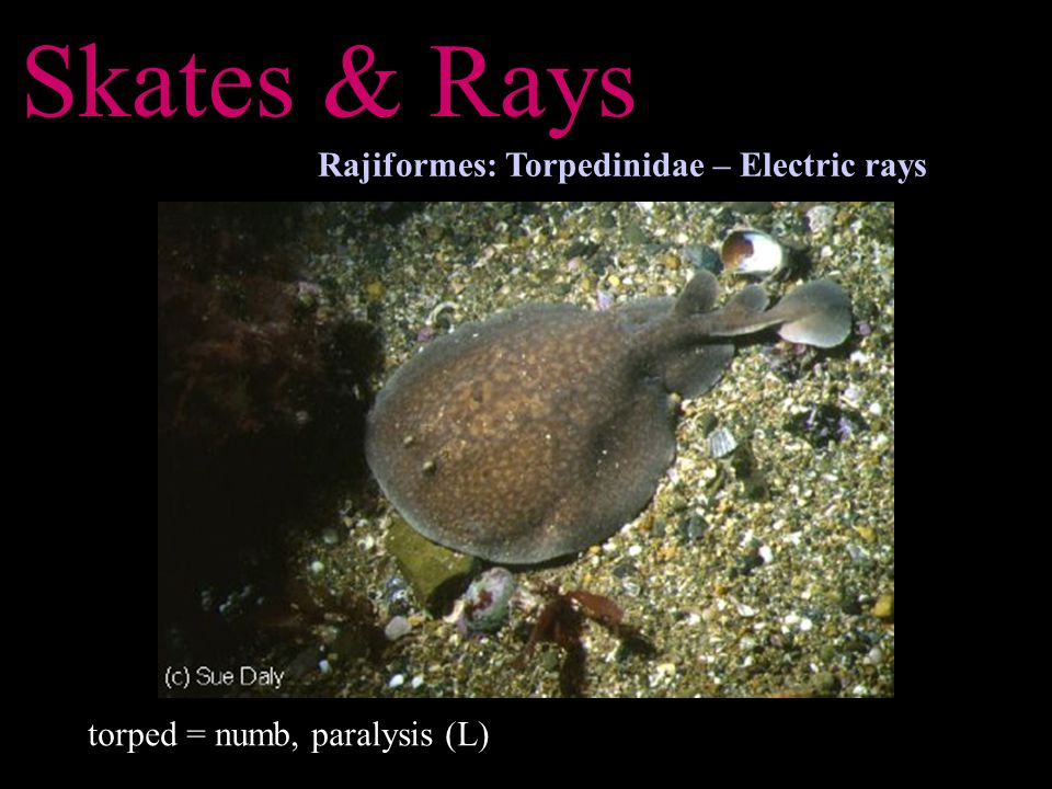 Skates & Rays Rajiformes: Torpedinidae – Electric rays