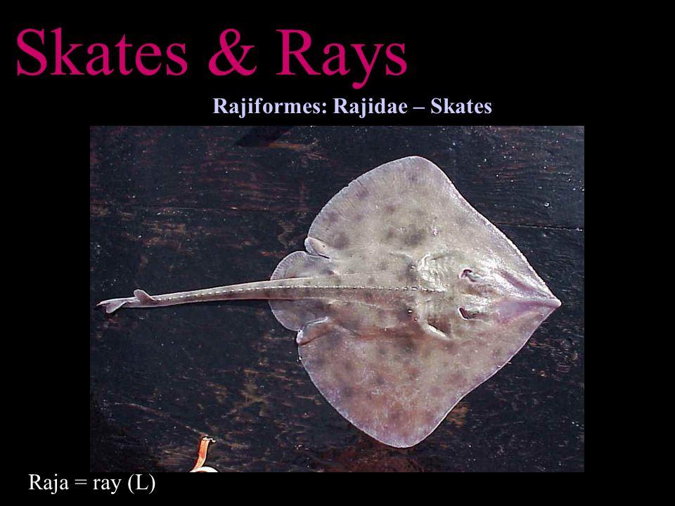 Skates & Rays Rajiformes: Rajidae – Skates Raja = ray (L)