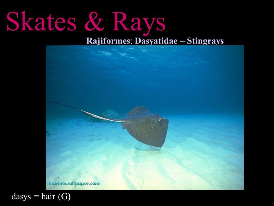 Skates & Rays Rajiformes: Dasyatidae – Stingrays dasys = hair (G)