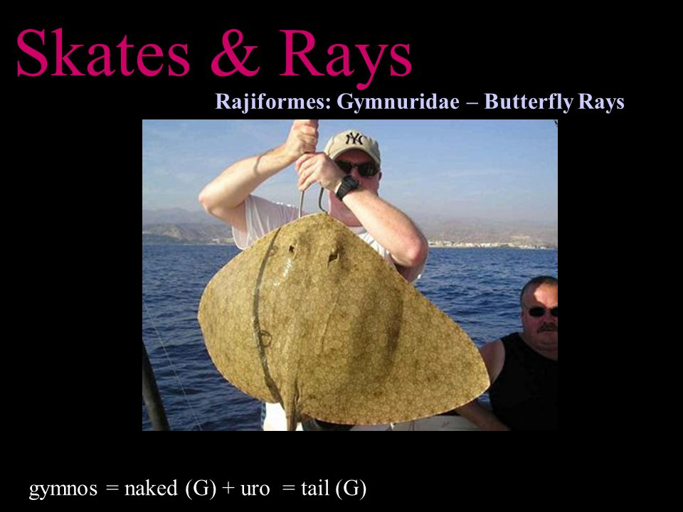 Skates & Rays Rajiformes: Gymnuridae – Butterfly Rays