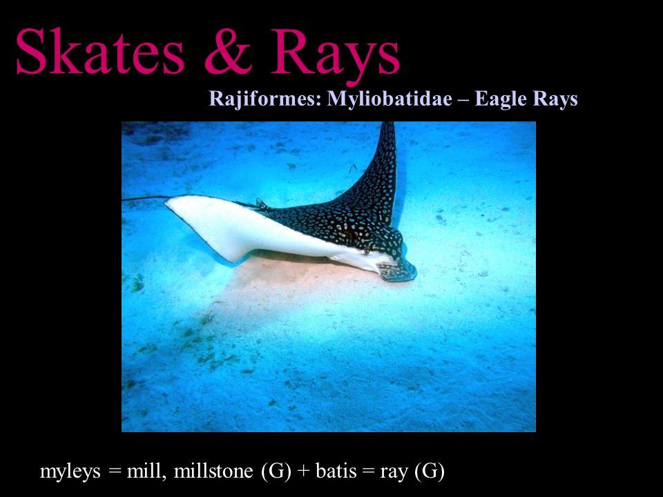 Skates & Rays Rajiformes: Myliobatidae – Eagle Rays