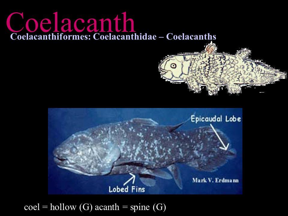 Coelacanth Coelacanthiformes: Coelacanthidae – Coelacanths