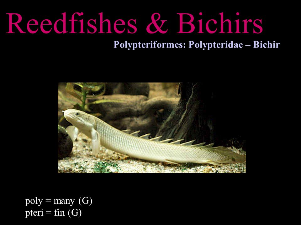 Reedfishes & Bichirs Polypteriformes: Polypteridae – Bichir