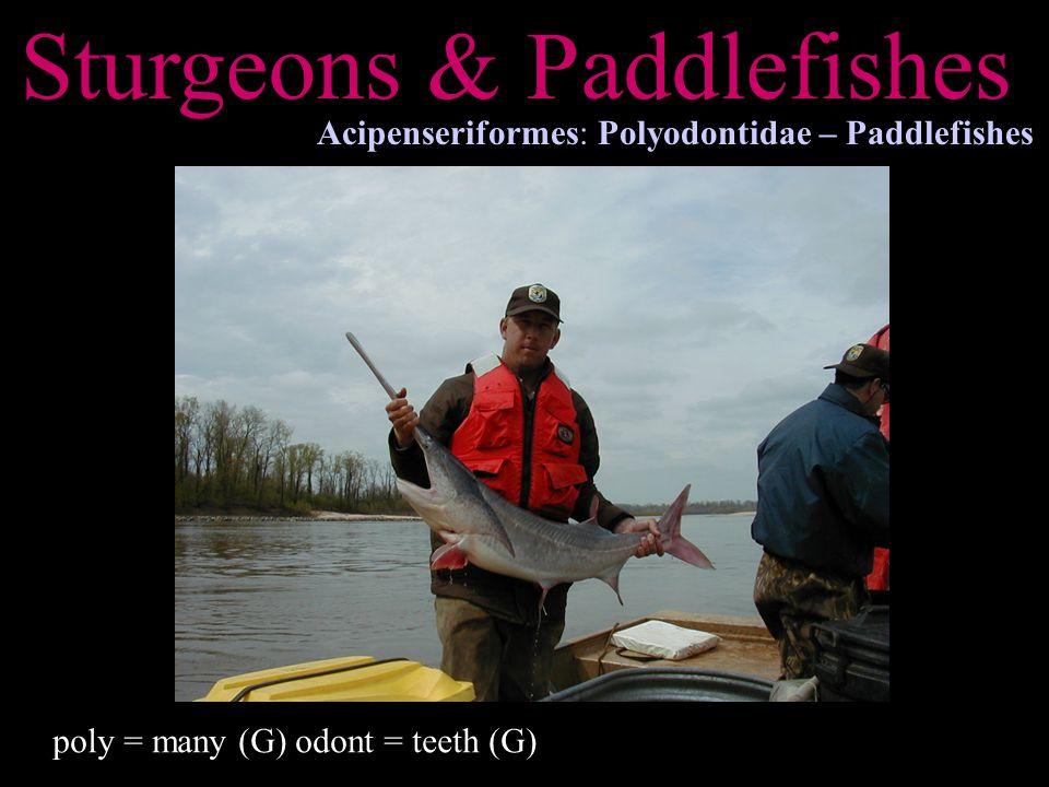 Sturgeons & Paddlefishes