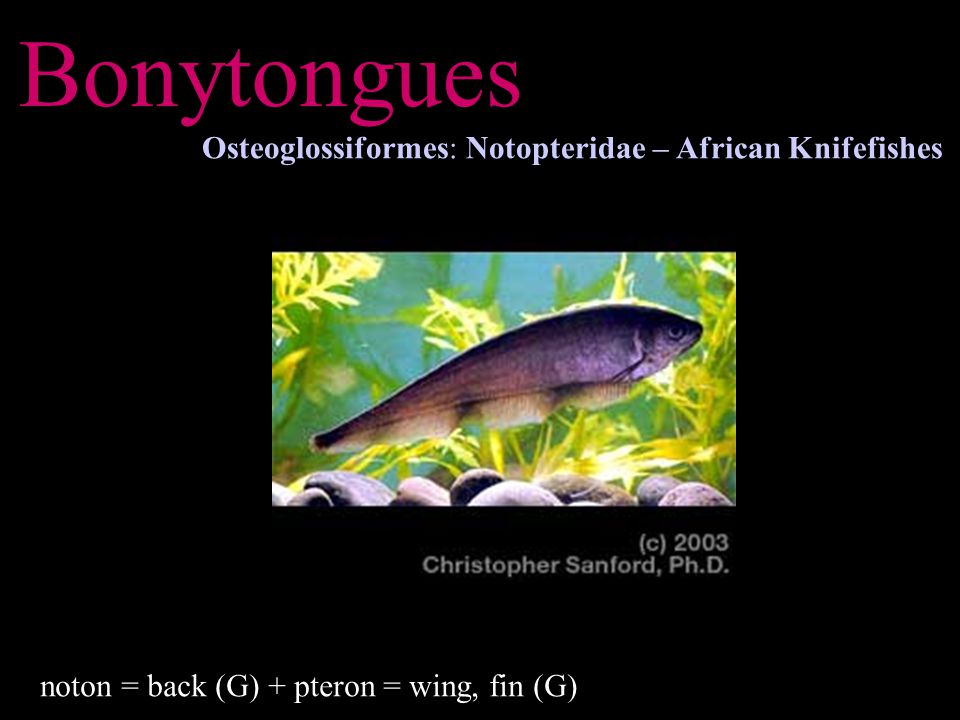 Bonytongues Osteoglossiformes: Notopteridae – African Knifefishes