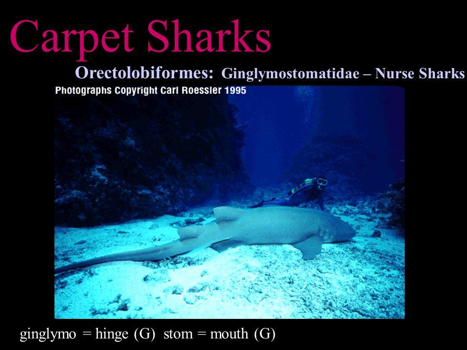 Carpet Sharks Orectolobiformes: Ginglymostomatidae – Nurse Sharks