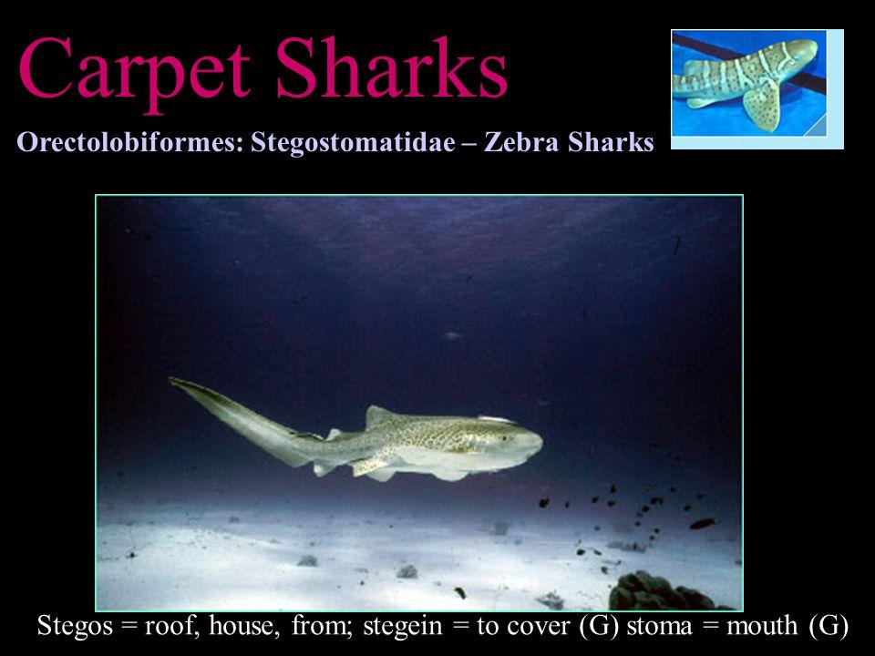 Carpet Sharks Orectolobiformes: Stegostomatidae – Zebra Sharks