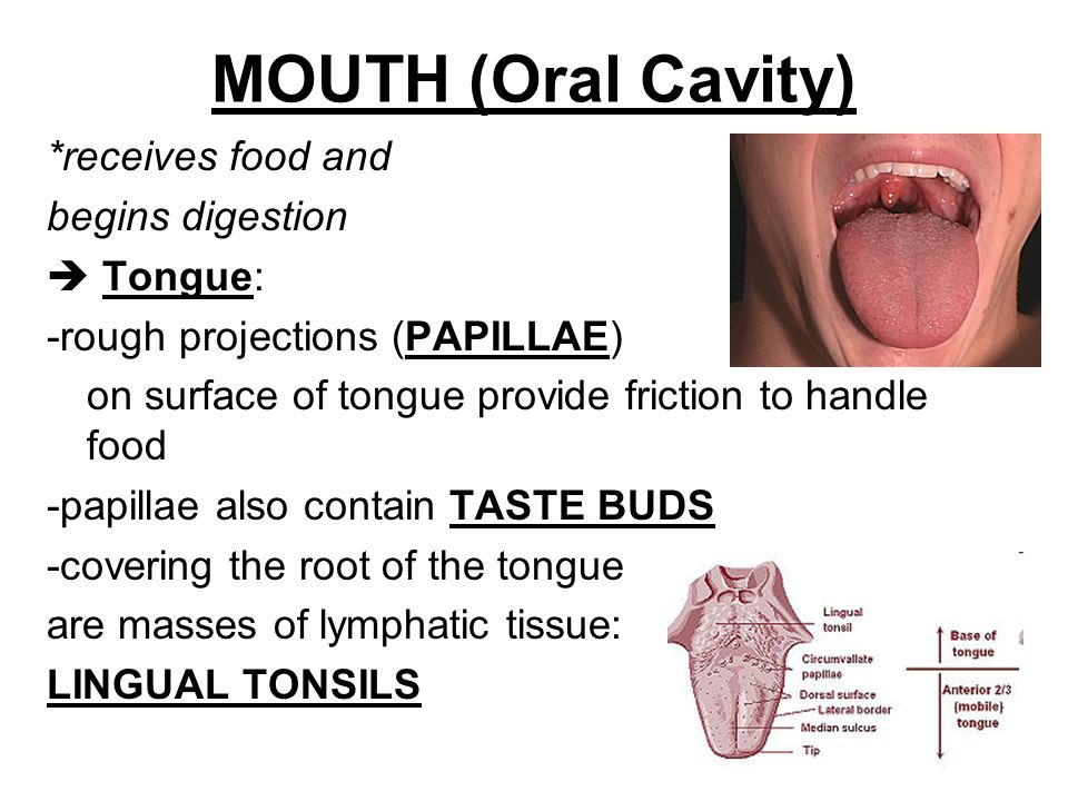 MOUTH (Oral Cavity) *receives food and begins digestion  Tongue: