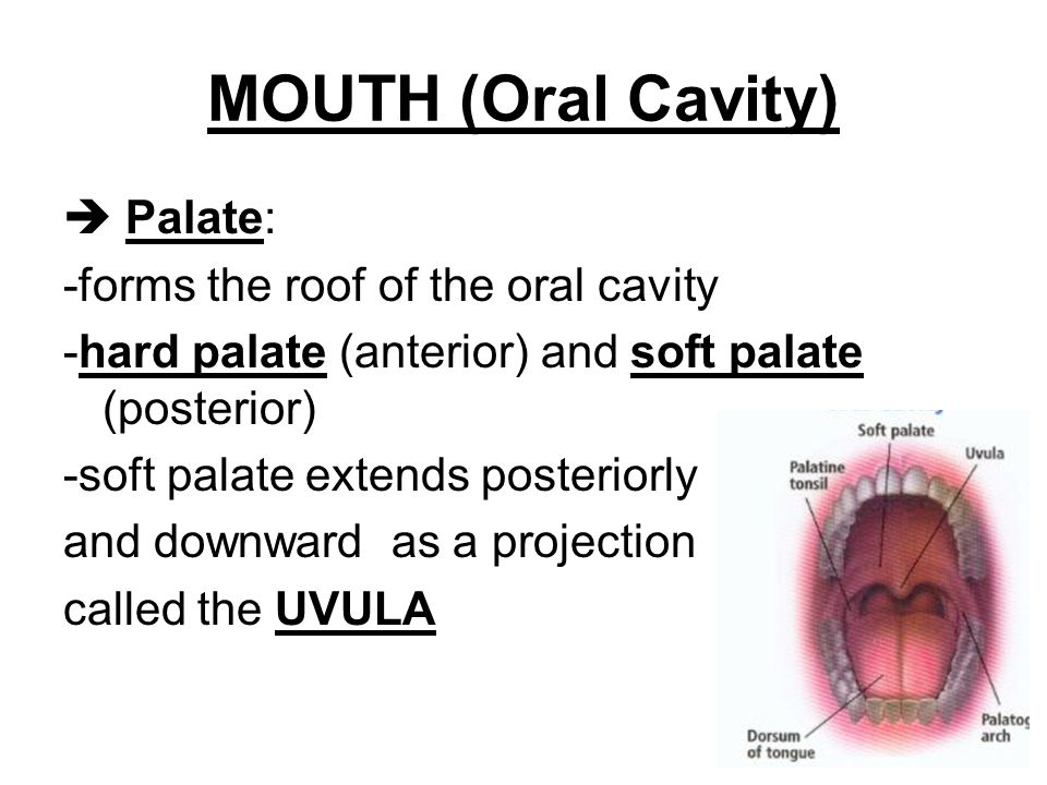 MOUTH (Oral Cavity)  Palate: -forms the roof of the oral cavity