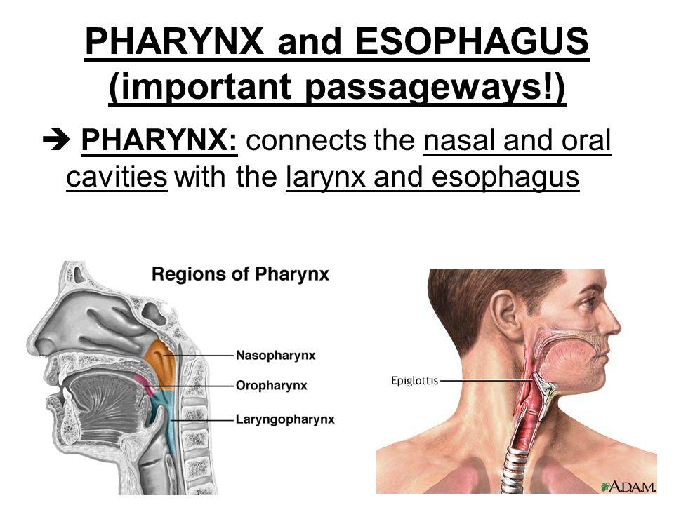 PHARYNX and ESOPHAGUS (important passageways!)