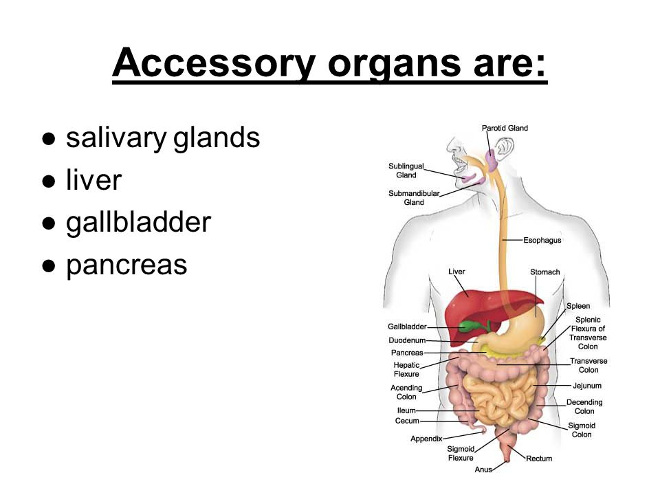 Accessory organs are: ● salivary glands ● liver ● gallbladder