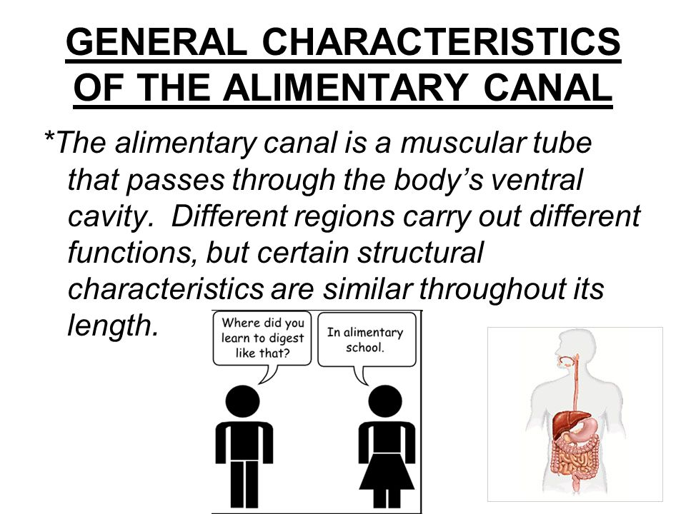 GENERAL CHARACTERISTICS OF THE ALIMENTARY CANAL