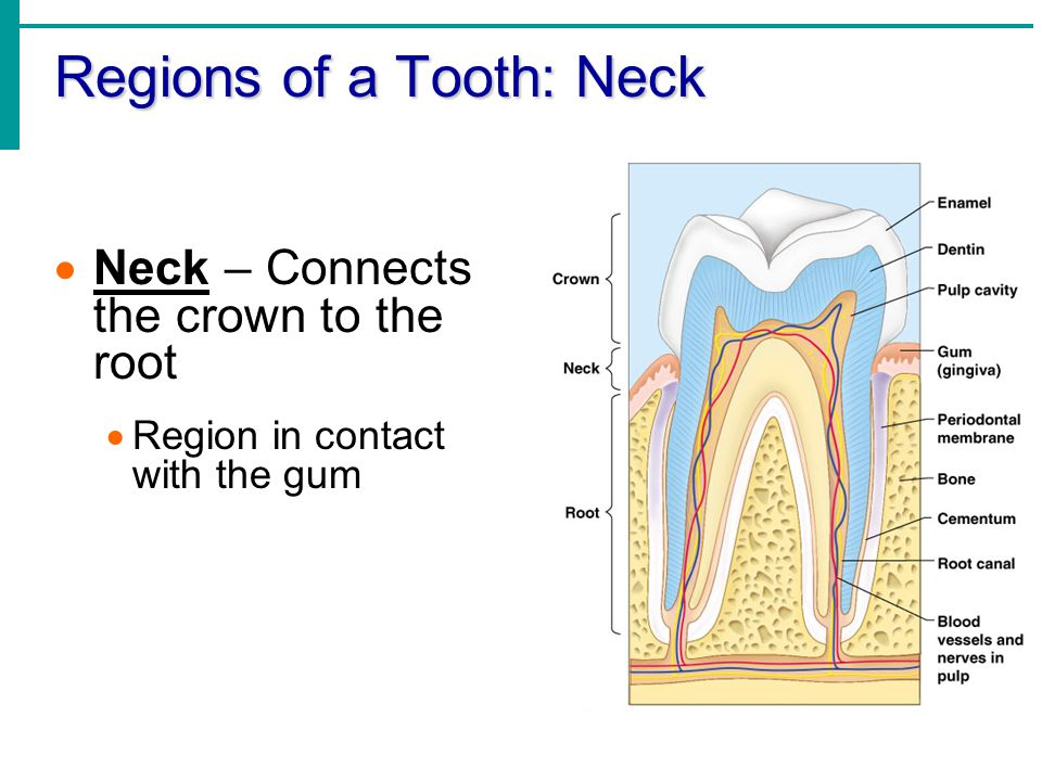 Regions of a Tooth: Neck