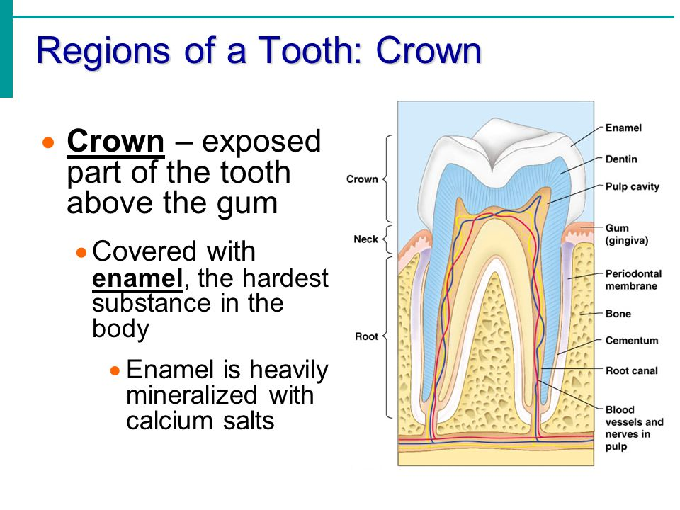 Regions of a Tooth: Crown