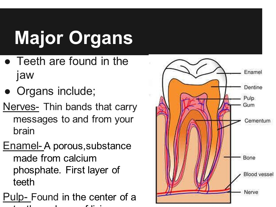 Major Organs Teeth are found in the jaw Organs include;