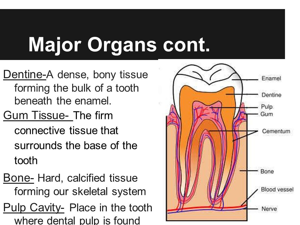 Major Organs cont. Dentine-A dense, bony tissue forming the bulk of a tooth beneath the enamel.