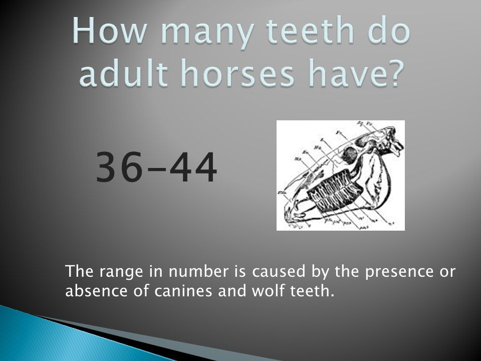 How many teeth do adult horses have