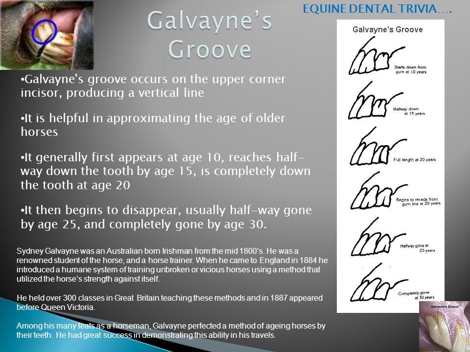Galvayne's Groove EQUINE DENTAL TRIVIA….