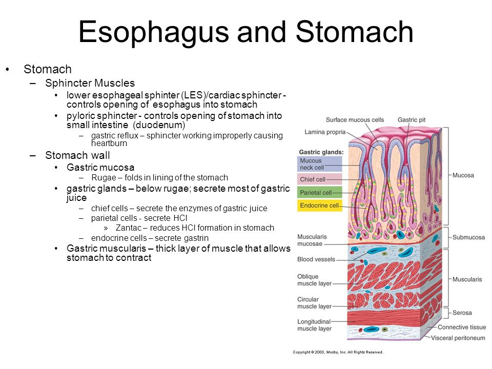 Esophagus and Stomach Stomach Sphincter Muscles Stomach wall