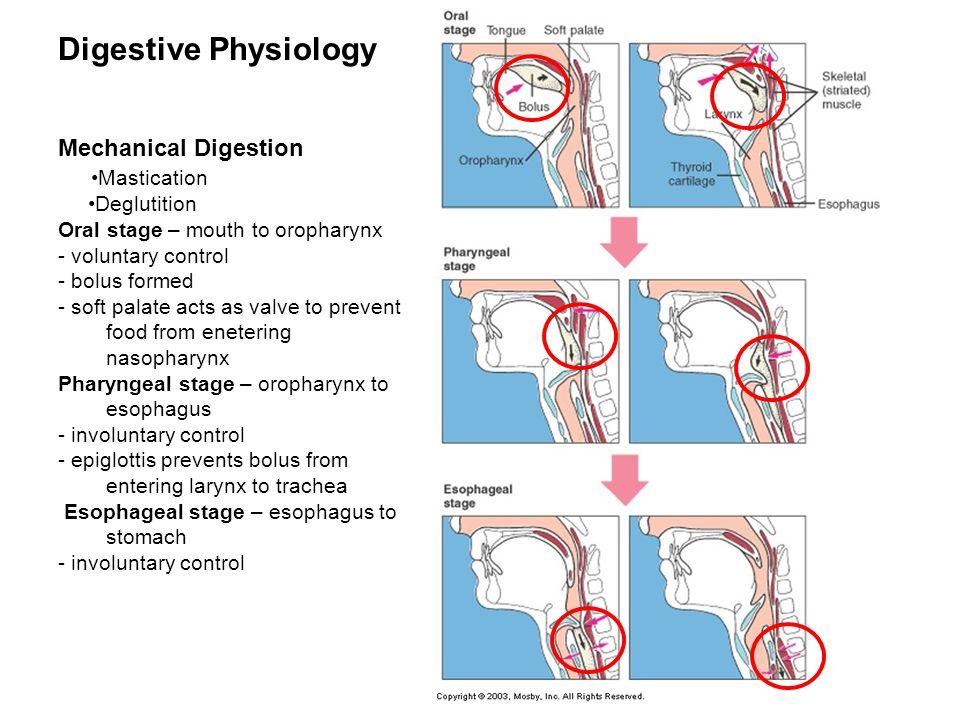 Digestive Physiology Mechanical Digestion •Mastication •Deglutition