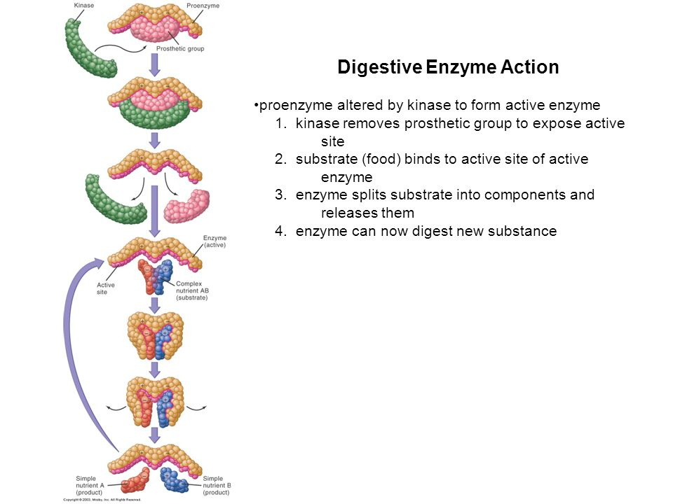 Digestive Enzyme Action
