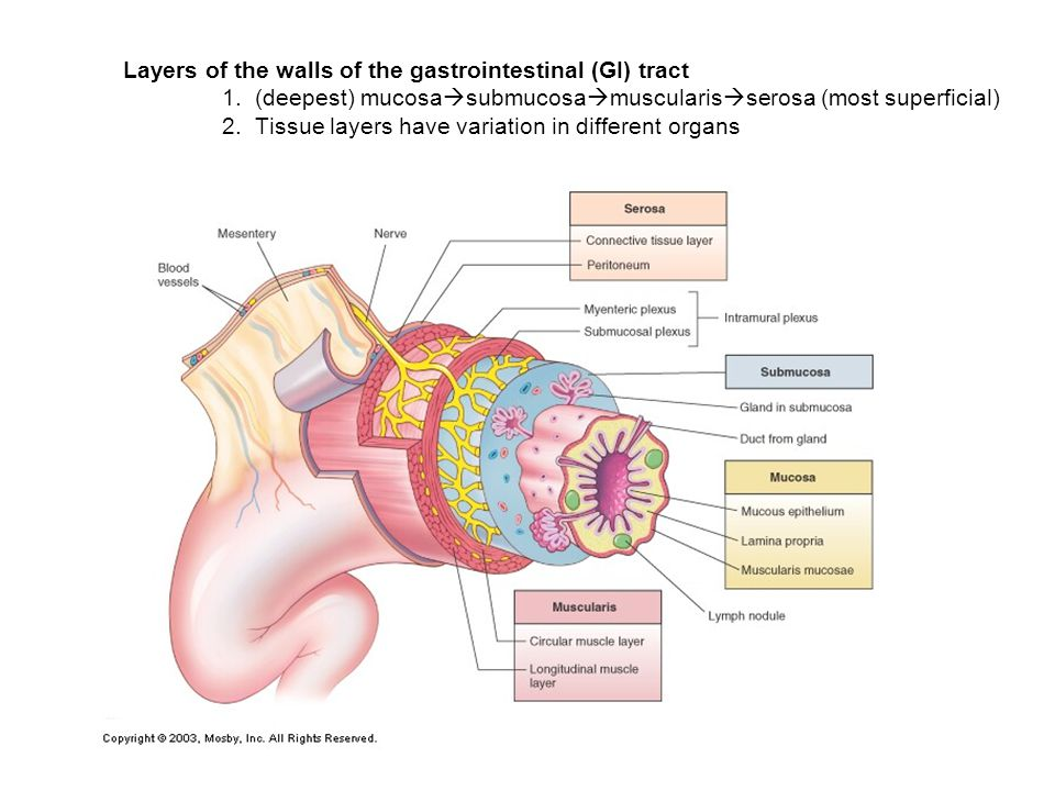 Layers of the walls of the gastrointestinal (GI) tract. 1