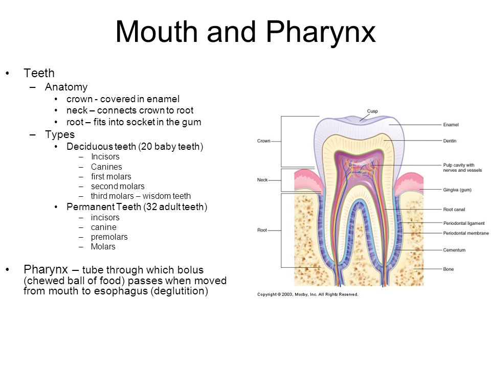Mouth and Pharynx Teeth