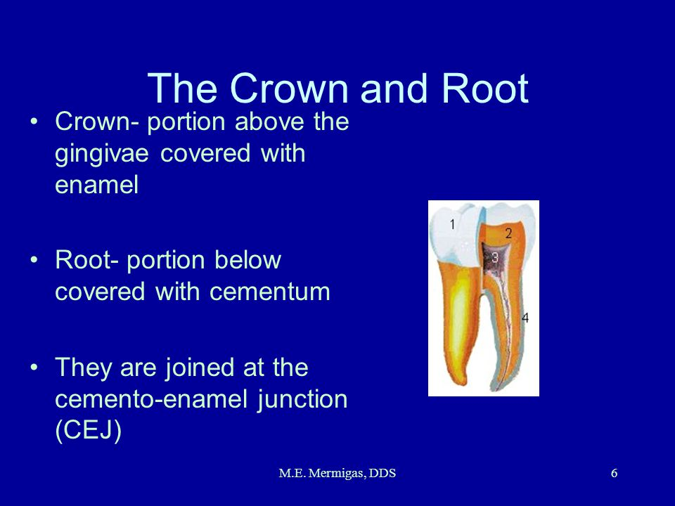 The Crown and Root Crown- portion above the gingivae covered with enamel. Root- portion below covered with cementum.