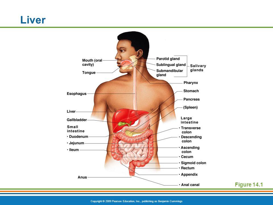 Liver Figure 14.1