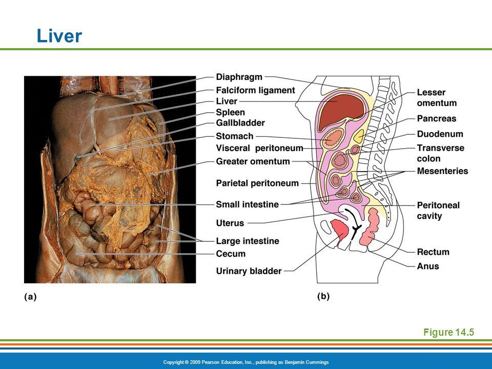 Liver Figure 14.5