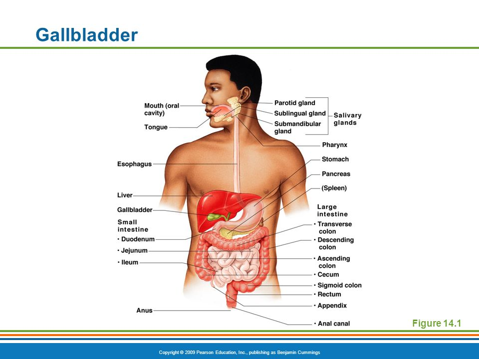 Gallbladder Figure 14.1
