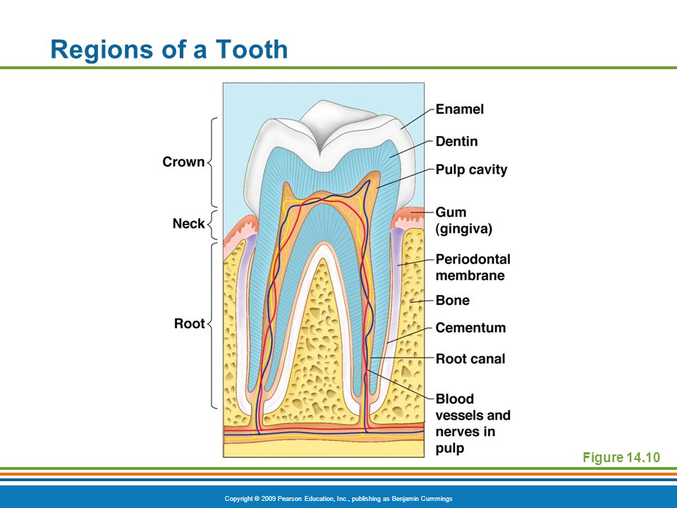 Regions of a Tooth Figure 14.10
