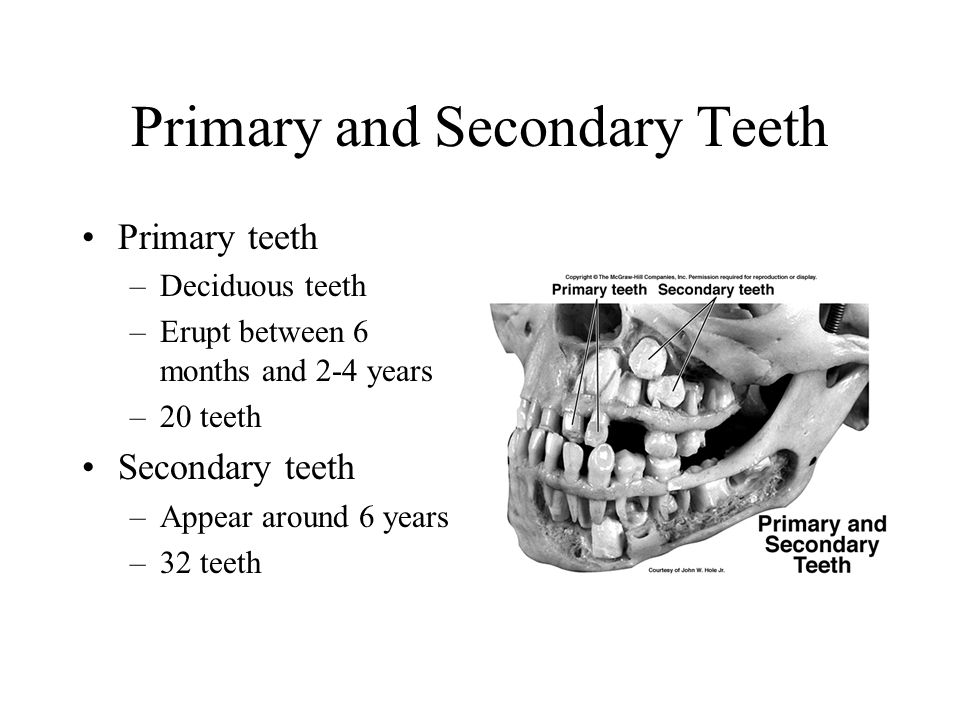 Primary and Secondary Teeth