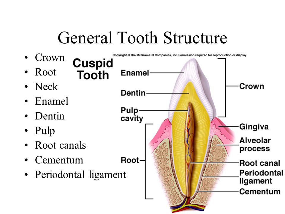 General Tooth Structure