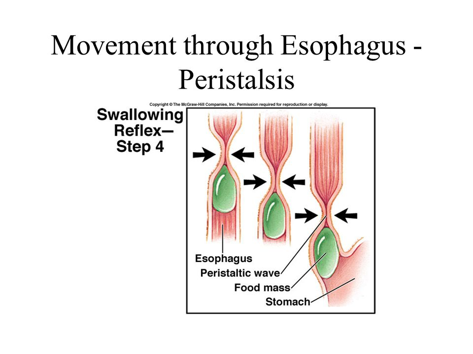 Movement through Esophagus - Peristalsis