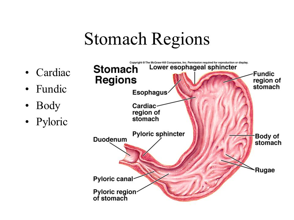 Stomach Regions Cardiac Fundic Body Pyloric