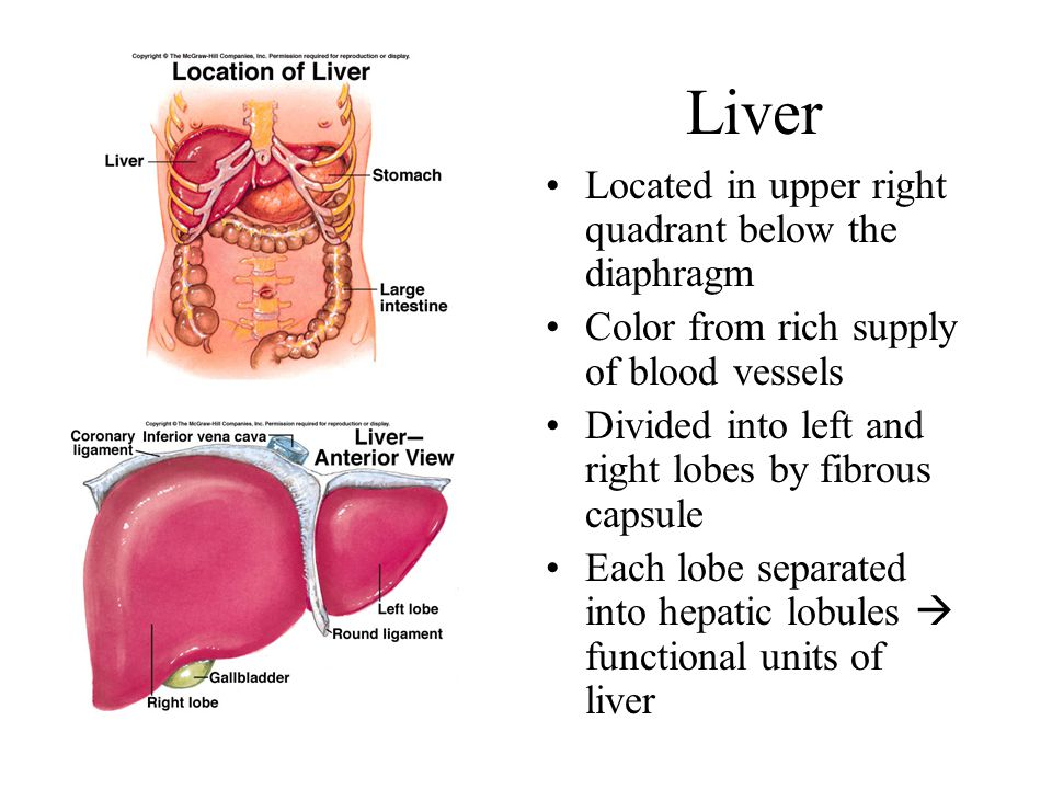 Liver Located in upper right quadrant below the diaphragm