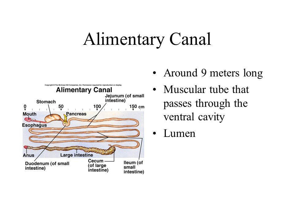 Alimentary Canal Around 9 meters long